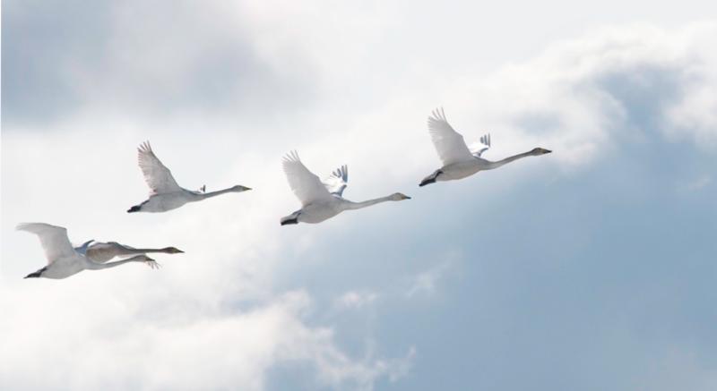 FlyingSwans