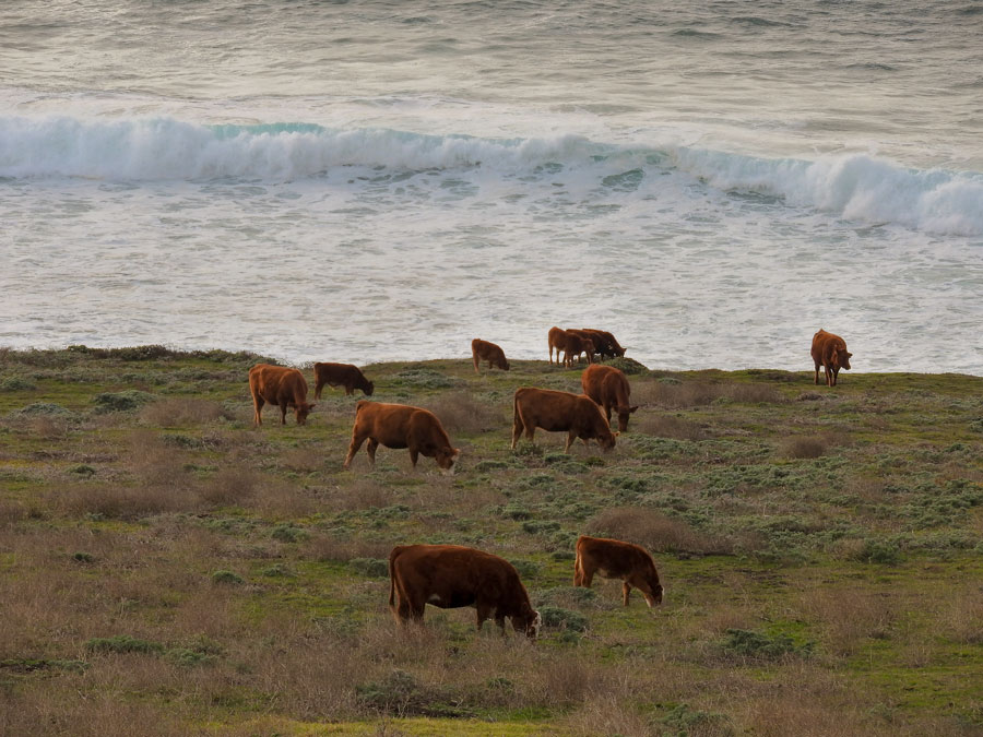 cows_by_the_ocean